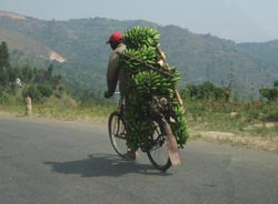 Banana being transported to a market
