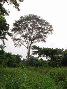 Picture of Young Milicia excelsa (Iroko)
